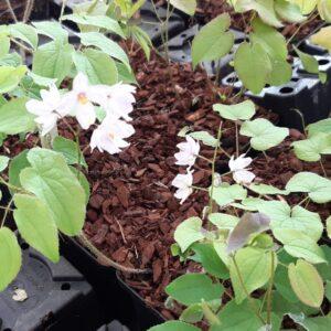 Epimedium youngianum 'Tamabotan'   Aaldering de Stek