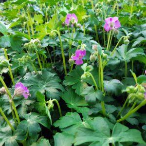 Geranium cantabrigiense 'Berggarten'   Aaldering de Stek
