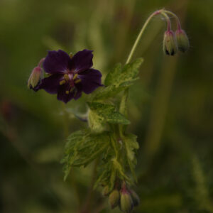 Geranium phaeum 'Springtime' - KwekerijAalderingDeStek