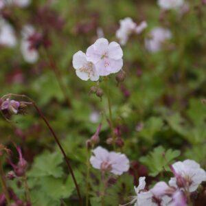 Geranium cantabrigiense 'St. Ola'   Kwekerij Aaldering De Stek